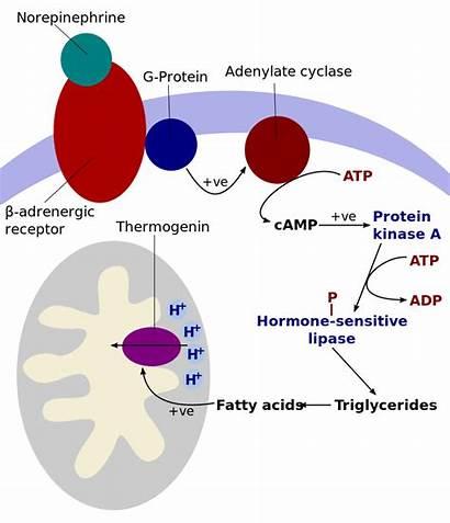 Metabolism Cellular Cells Human Temperature Control Thermogenesis