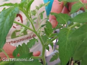 Wann Tomaten Pflanzen : wie und wann geize ich tomaten aus gartenmoni altes wissen bewahren ~ Frokenaadalensverden.com Haus und Dekorationen