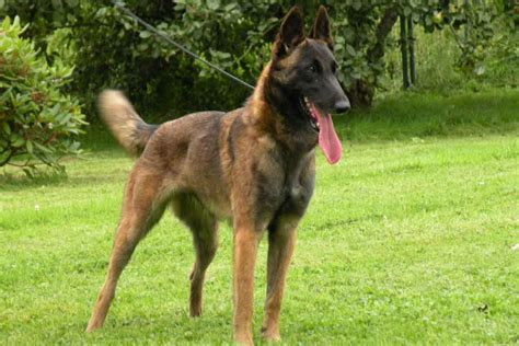 Dogs That Dont Shed For Adoption by Belgian Shepherd Dogs Puppies Dog Breeds Picture