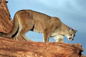 Humane Society Protests Increase In Utah Cougar Hunt