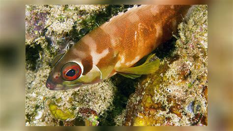 cod rock grouper banded paddy ryan copyright dr striped blacktip