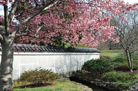 shofuso japanese house and garden opens for cherry blossom