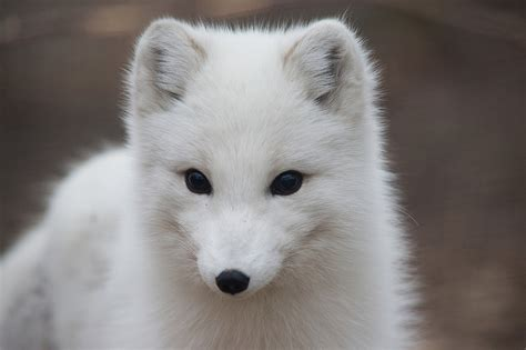 Arctic Fo Wild Animals News Facts By World Animal Foundation