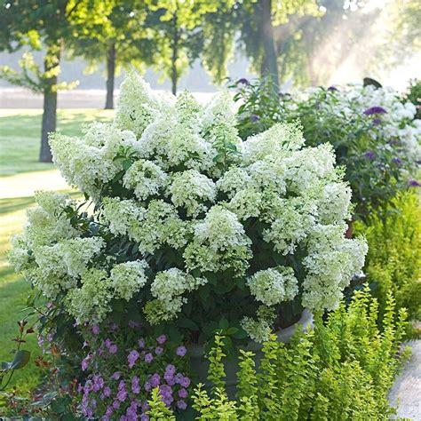 hydrangea paniculata bobo white flower farm