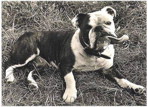 history  oeb olde english bulldogge