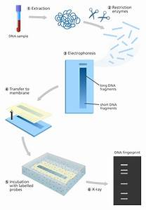 What Is A Dna Fingerprint