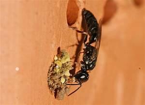 Das Kleine Schwarze Stuttgart : passaloecus gracilis ohne deutschen namen grabwespen crabronidae pemphredonini ~ Indierocktalk.com Haus und Dekorationen