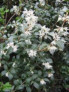 osmanthus x burkwoodii un arbuste persistant tres With idees amenagement jardin exterieur 14 fusain du japon plantation taille et entretien