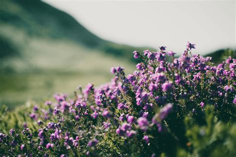 purple  yellow flowers  white mountain