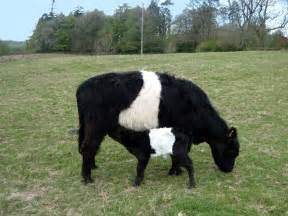 Cattle of Cows Breeds Types