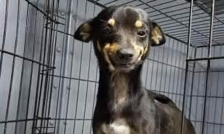 cheech  texas rescue dogs goofy grin   home