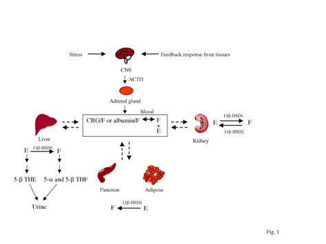 glucocorticoid metabolism the secretion of