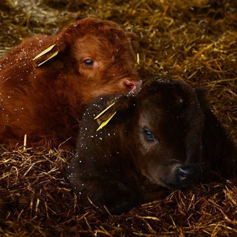 baby highland cattle cows  cheer    matter