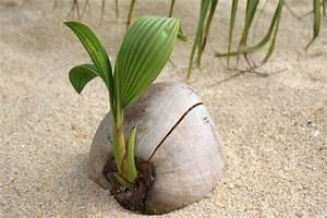 Kokos Blumenerde Für Welche Pflanzen : kokosnuss pflanzen die wichtigsten pflanztipps in k rze ~ Orissabook.com Haus und Dekorationen