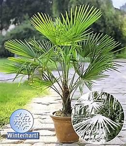 Palmen Für Den Garten : winterharte k bel palme 1a k belpflanzen baldur garten ~ Sanjose-hotels-ca.com Haus und Dekorationen