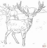 Deer Coloring Pages European Western Printable Dear Drawing Detailed Elk Mule Hunting Drawings Supercoloring Sketch sketch template