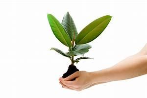 Gummibaum Verliert Blätter : gummibaum vermehren welche methoden funktionieren ~ Lizthompson.info Haus und Dekorationen