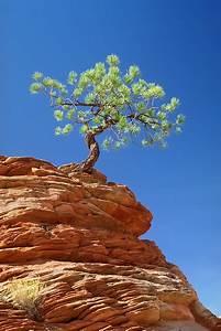 overcoming adversity tree clinging to rocky ledge