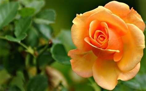 orangenature nature wallpapers wallpaper rose flower widescreen orange nature rose flower wallpaper beautiful flowers images rose leaves