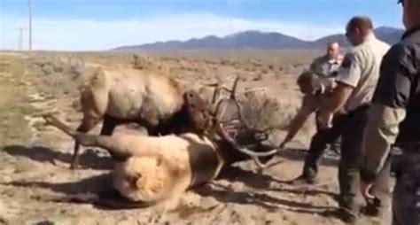 antler locked nevada bull elk   woozy release