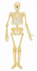 Human Skeleton Diagram Without Labels