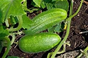 Gurken Anbauen Im Topf : die besten 25 tomaten z chten ideen nur auf pinterest wachsende paprika tomatenpflanzen und ~ Frokenaadalensverden.com Haus und Dekorationen