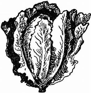 Gallery For > Lettuce Drawing | Lettuce Turnip the Beet ...