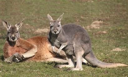Kangaroo Friend Week Kangaroos