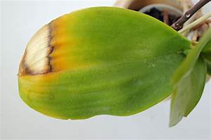 Avocado Pflanze Richtig Schneiden : wie pflege ich orchideen tipps orchideen pflege schale ~ Lizthompson.info Haus und Dekorationen