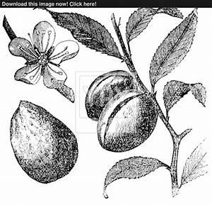 The Almond tree or prunus dulcis vintage engraving. Fruit ...