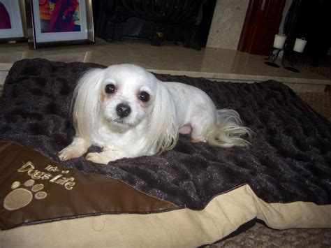 Maltese Terrier Wigan Greater Manchester Petshomes