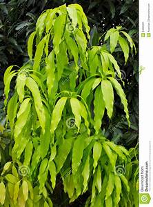 Leaves Of The Mango Stock Image - Image: 34595261