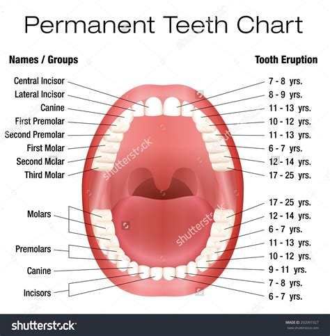 Diagram Of Mouth With Teeth Numbers