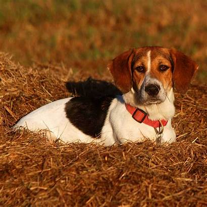 Dog Bagle Hound Bagel Breed Beagle Breeds