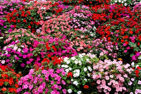 impatiens flowers growing tips  types  plant