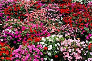 Impatiens Flowers: Growing Tips, Best Types to Plant