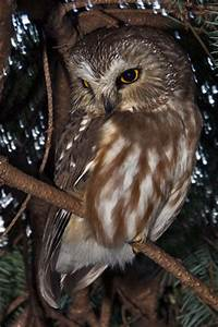 Northern Saw-whet Owl Facts for Kids - NatureMapping
