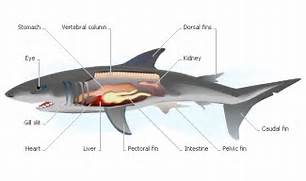 External Anatomy Of A ...Shark Anatomy