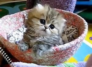Fluffy Cutest Kitten Ever