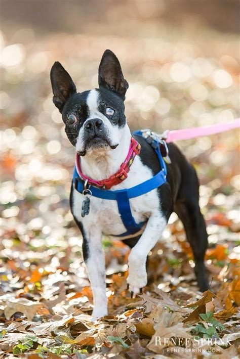 boston terrier history personality appearance health