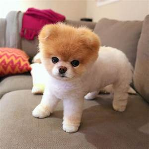 Boo the Pomeranian, Once Named the World's Cutest Dog ...  Cutest