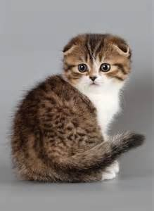 scottish fold cat scottish fold kitten cuddly