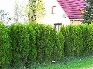 Thuja Hecke Düngen : thuja occidentalis 39 smaragd 39 smaragd lebensbaum als hecke ~ Lizthompson.info Haus und Dekorationen