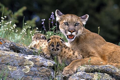Animal Cubs Wallpapers - mountain with cubs wallpaper animals wallpaper better