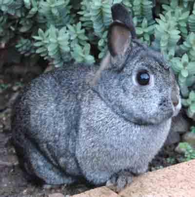 netherland dwarf rabbit breed information modern farming