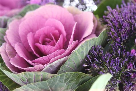 decorative cabbage and kale how to grow ornamental cabbage and flowering kale
