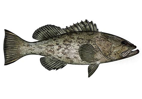 grouper identification commonly terms well