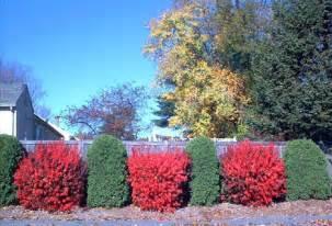 bush ideas dwarf burning bush pruning planting the planting tree the planting tree