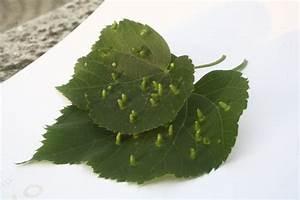 Linden tree leaf problem