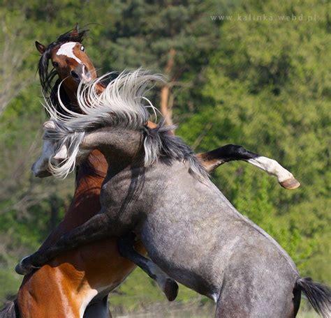 horse rearing horses arabian stallion pretty zorro snow forward